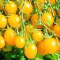 Tomato_yellow_plum