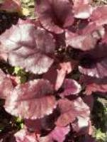 Beet_greens__bb_red_