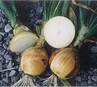 Onion_earlyyellowglobe_275